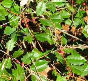 Sharp leaves protect berries from deer predation -- another reason to encourage this species in your landscape.