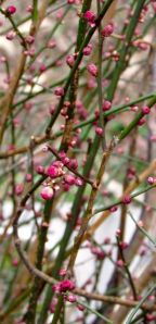 I fear the cold will be too much for the nearly open buds of Prunus mime 'Peggy Clarke.'