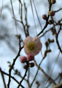 Pink Prunus mume