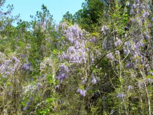 Chinese wisteria strangling a forest edge.