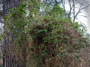 This tangle of Japanese Honeysuckle among the trees makes it easy for snakes, raccoons, and other predators to raid bird nests.