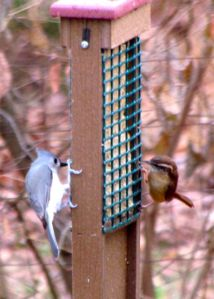 The Tufted Titmouse on the left and Carolina Wren on the right are just two of my many avian visitors relying heavily on my feeders.