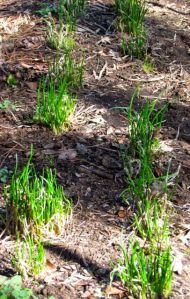 Chives showing they can handle Winter's worst.