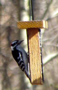 A Downy Woodpecker male refuels between bouts of territorial drumming.