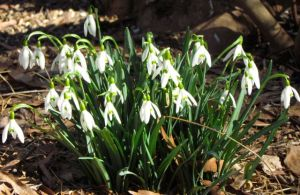 Resilient Snow Drops