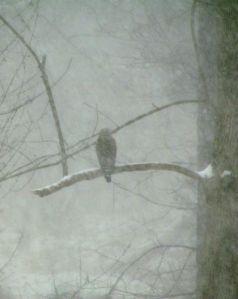 snow hawk
