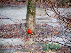 A Northern Cardinal surveys my active floodplain this past March.