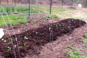 Broccoli plants are in the center of the bed where the hoops attain maximum height.