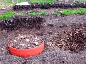 He'll use the pile of shredded leaves and compost to fill in the bags as the potato plants grow.