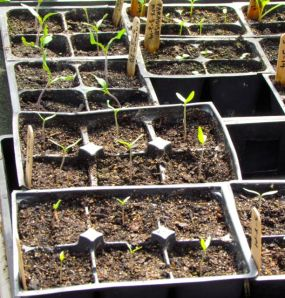 Tomato seedlings and friends