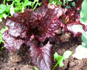 Annapolis Red Romaine Lettuce tastes as wonderful as it looks.
