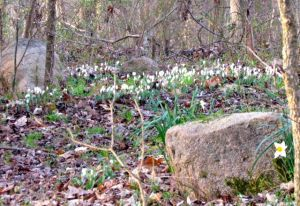 Bloodroot army on the move
