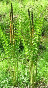 Cinnamon ferns