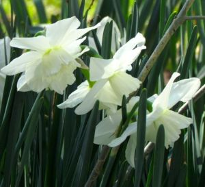 These pure white, ruffled blossoms are especially elegant.