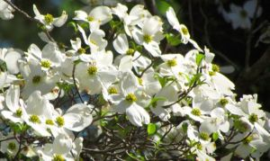 The thicker bracts of our native dogwoods are unlikely to be adversely impacted.