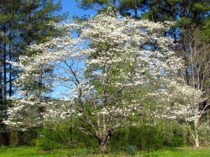 The visual impact of a mature native dogwood in bloom should not be underestimated.