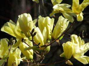 Magnolia 'Elizabeth' -- 50 feet of spectacular!