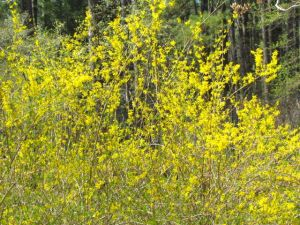 It isn't spring in the southeast without sunny forsythia flowers.