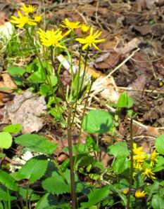Golden ragwort is an easy wildflower to add to southeastern landscapes.