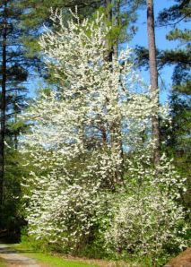 A 25-foot-tall Halesia diptera in full, stunning bloom.
