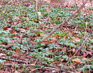 Mayapples on the march!