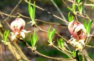 Pinxterbloom Azalea will be the first native azalea to bloom, as usual.