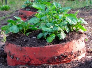 Ideally, the stems should sprout new roots and then potatoes along the freshly buried stems. Here's hoping!