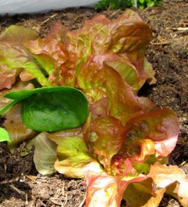 Red Cross Butterhead Lettuce