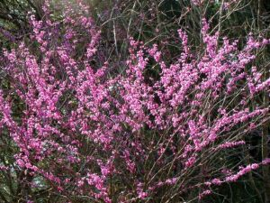 Redbud bloom color really pops against a background of red cedars.