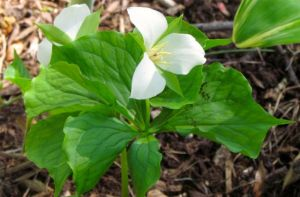 Spring wildflowers like this Trillium start the prolonged display of beautiful natives in my landscape.