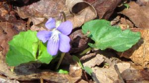 "Even my ""lawn"" is adorned with many wildflowers, including gazillions of violets."