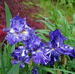 Iris 'Batik'