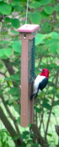 A gorgeous Red-headed Woodpecker sampling my suet feeder.