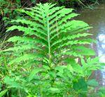 sensitive fern frond