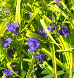 My Tradescantia cultivar, 'Sweet Kate,' is ignored.