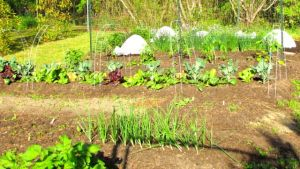 Potatoes in the foreground, onions, lettuces, and the summer veggies in back.