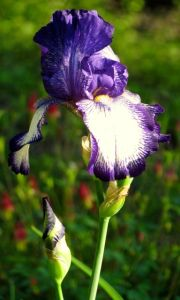 An iris (name forgotten) thriving in a neglected corner of my vegetable garden.