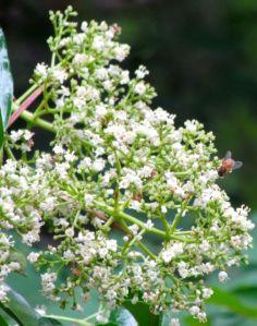 Chindo viburnum flower cluster