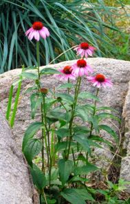 Coneflowers in the boulder garden