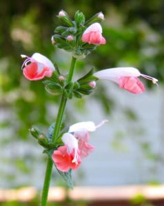 """Salvia """"Coral Nymph"""" on May 24."""