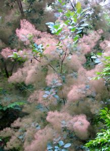 Cotinus x 'Grace'
