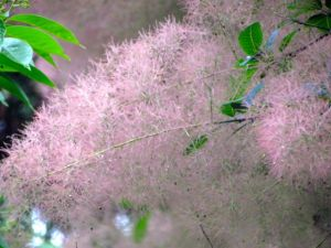 It really is pink, and if planted as an understory tree, where it remains shaded, Grace's leaves remain a deep purple-green all summer -- a lovely contrast to the pink seed heads that often persist for as long as a month.