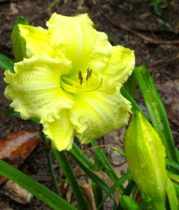 Fat flower buds are eaten by people, so it's no wonder that deer love daylily flower buds too.
