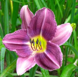 Daylily 'Prairie Blue Eyes'