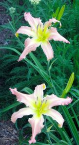 Daylily 'Winsome Lady' grows near 'Apricot Spider'