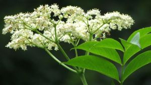 Elderberry bloom