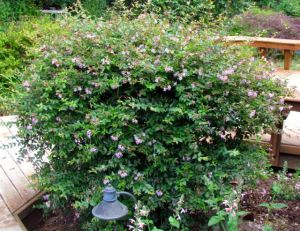 This non-native shrub withstands any kind of pruning --or none at all.