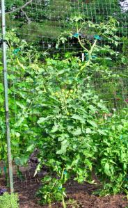 Sweet Treats Tomatoes are now taller than I can reach.