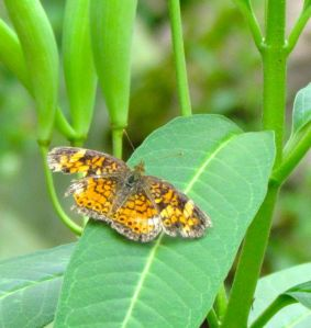 A battered Pearl Crescent rests on a milkweed leaf. I've seen no Monarchs this year, alas.