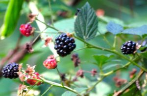 Blackberries delight birds, coons, and possums.